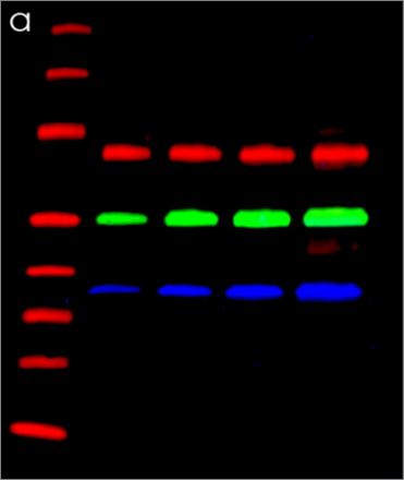 Fluorescent Western standardization blot