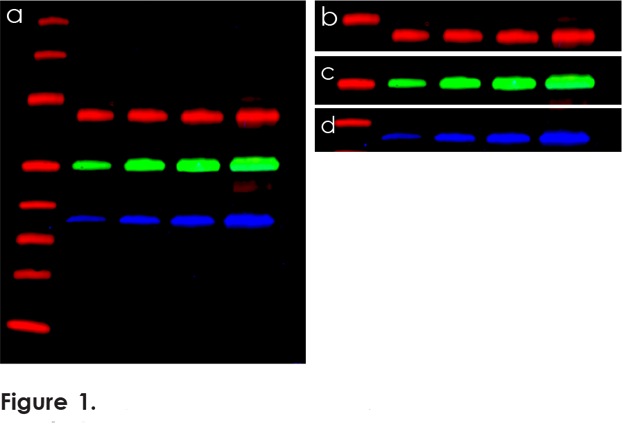 Fluorescent Western standardization blot
